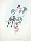 Gould Birds of Asia Antique Print Cawnpore Pericrocotus