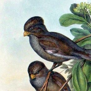 Gould Birds of Asia Print Long-tailed Paradoxornis