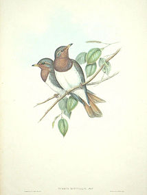 Gould Birds of Asia Antique Print Red-throated Thrush