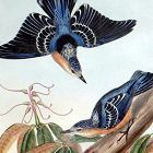 Gould Birds of Asia Antique Print Beautiful Nuthatch
