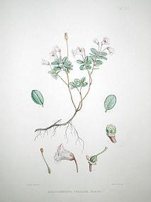 Sir W. J. Hooker Antique Print Dwarf Rhododendron