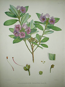Sir W. J. Hooker Antique Print Ciliated Rhododendron