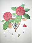 Sir W. J. Hooker Antique Print Brilliant Rhododendron