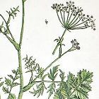 Elizabeth Blackwell A Curious Herbal Burnet Saxifrage