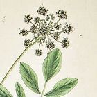 Elizabeth Blackwell A Curious Herbal   Bishop's Weed