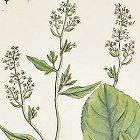 Elizabeth Blackwell A Curious Herbal Pepperwort