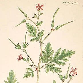 Elizabeth Blackwell A Curious Herbal Herb   Robert