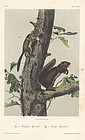 Audubon 8vo Squirrels Hand Colored Lithograph