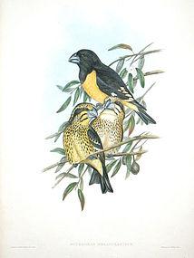 Gould Birds of Asia Antique Print Black Yellow Grosbeak