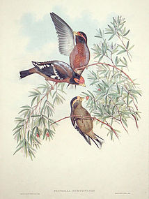 Gould Birds of Asia Antique Print Burton's Grosbeak