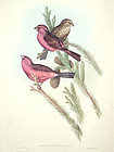 Gould Birds of Asia Antique Print Red Mantled Grosbeak