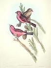 Gould Birds of Asia Antique Print Red Mantled Grosbeak