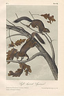 Audubon 8vo Soft Haired Squirrel Hand Colored