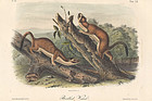 Audubon 8vo Bridled Weasel Hand Colored Lithograph