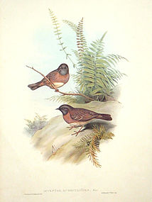 Gould Birds of Asia Antique Print Red-breasted Accentor