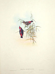 Gould Birds of Asia Antique Print Red-backed Dicaeum