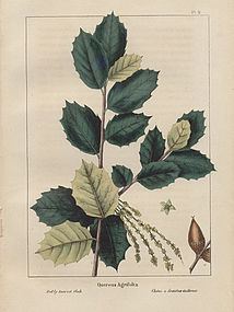 North American Sylva Holly Leaved Oak