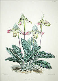 Warner Orchid, Cypripedium Venustum