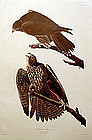 Audubon Birds of America, Labrador Falcon