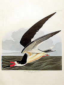 Audubon Birds of America Black Skimmer