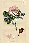 Sowerby English Botany, Sweet Briar