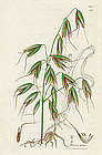 Sowerby English Botany, Wild Oat
