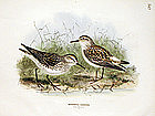 Dresser Birds of Europe Sandpiper Lithograph