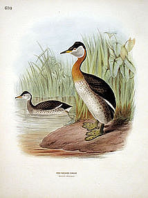 Dresser Birds of Europe Rednecked Grebe Lithograph
