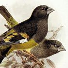 Dresser Birds of Europe Whitewinged Grosbeak Lithograph