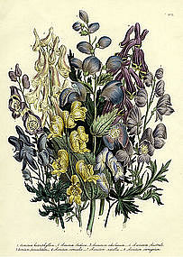 Loudon Ladies Flower Garden Various Leaved Monkshood