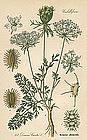 Thome Flora von Deutschland Queen Anne