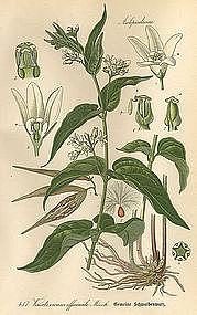 Thome Flora von Deutschland White Swallowart