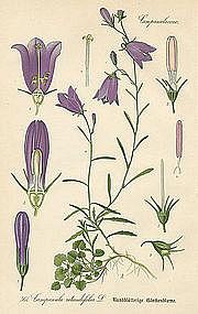 Thome Flora von Deutschland Blue Harebell