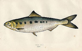 Twait Shad Antique Print Wood Engraving