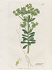 Sowerby English Botany, Portland Spurge