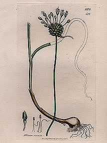 Sowerby English Botany, Crow garlick