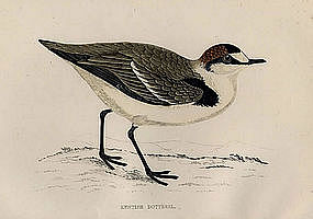 Morris History of British Birds Kentish Dotterel
