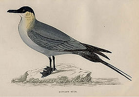 Morris History of British Birds Buffon's Skua