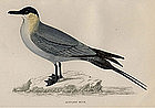 Morris History of British Birds Buffon