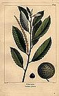 North American Sylva Chincapin