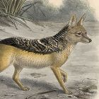 Black Backed Jackal Mivart Dogs Jackals Wolves Foxes