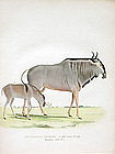 Gnu Wildebeest Zoology Smith Lithograph
