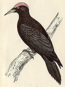 Morris History of British Birds Black Woodpecker