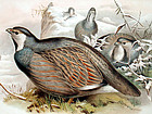 Gould Birds of Asia Antique Lithograph Snow Partridge