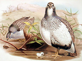 Gould Birds of Asia Lithograph Altaic Snow Partridge