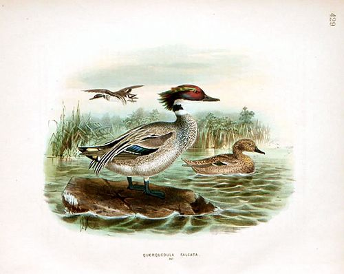 Dresser Birds of Europe Falcated Teal Lithograph