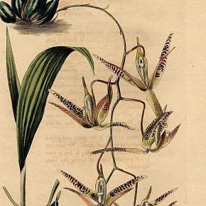 Loddiges Antique Orchid Print, Pendulous Cymbidium
