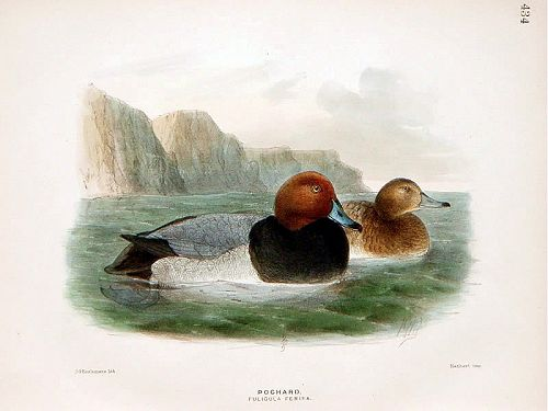 Dresser Birds of Europe Pochard Lithograph Print