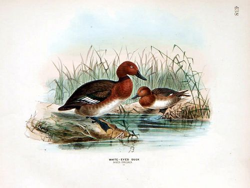Dresser Birds of Europe White Eyed Duck Lithograph