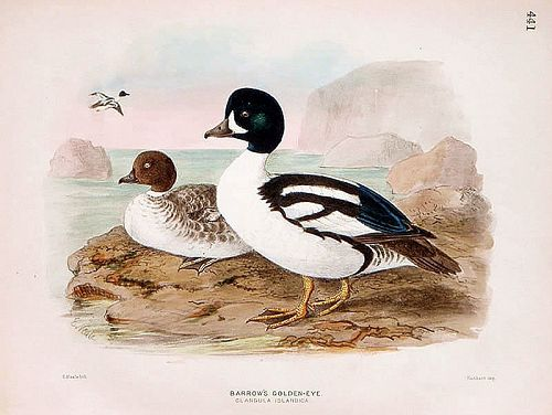 Dresser Birds of Europe Barrow's Golden-Eye Lithograph